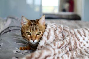 kranke Katze unter Decke
