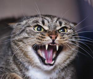 Telemedizin für Katzen fauchende Katze